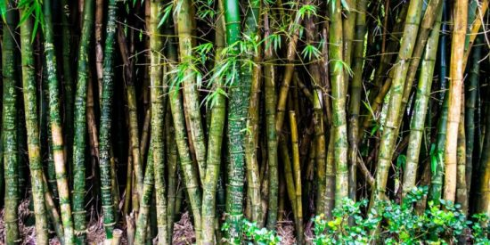 Bamboo: A Substitute for Wood for Biofuel